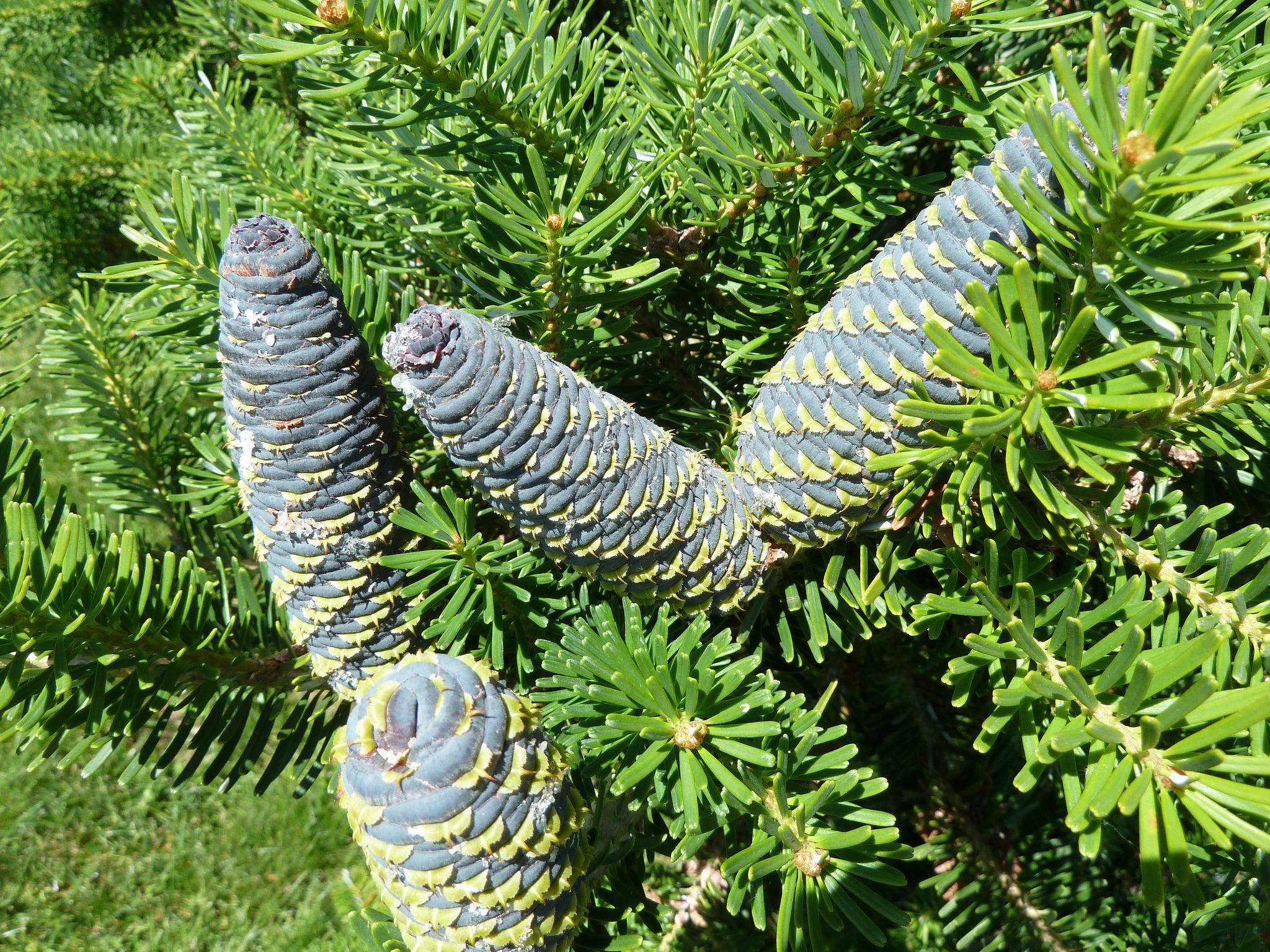 Meet 12 Species of Fir Trees