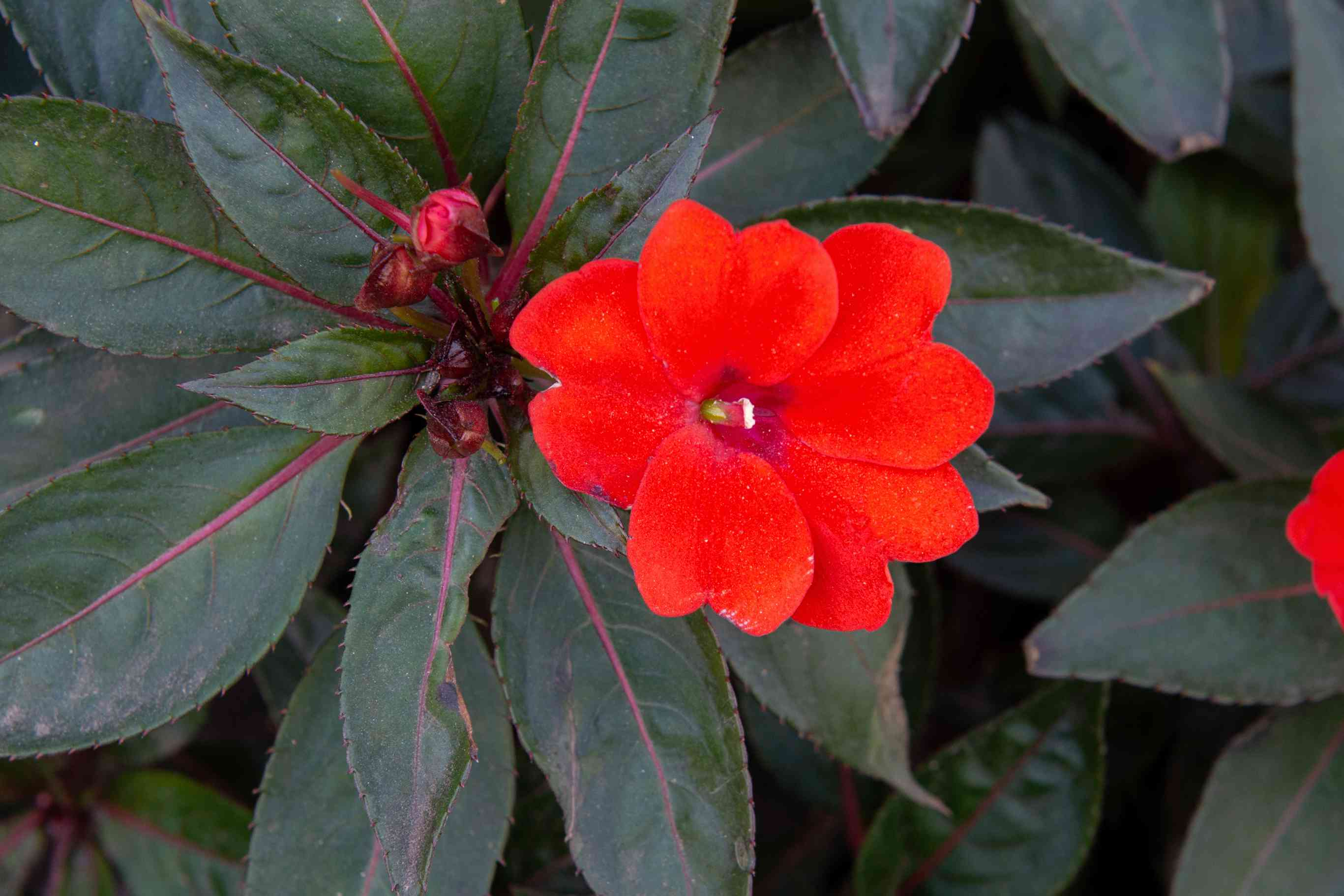 SunPatiens flower with bright red flower next to pink bud and dark green leaves with pink stripe closeup
