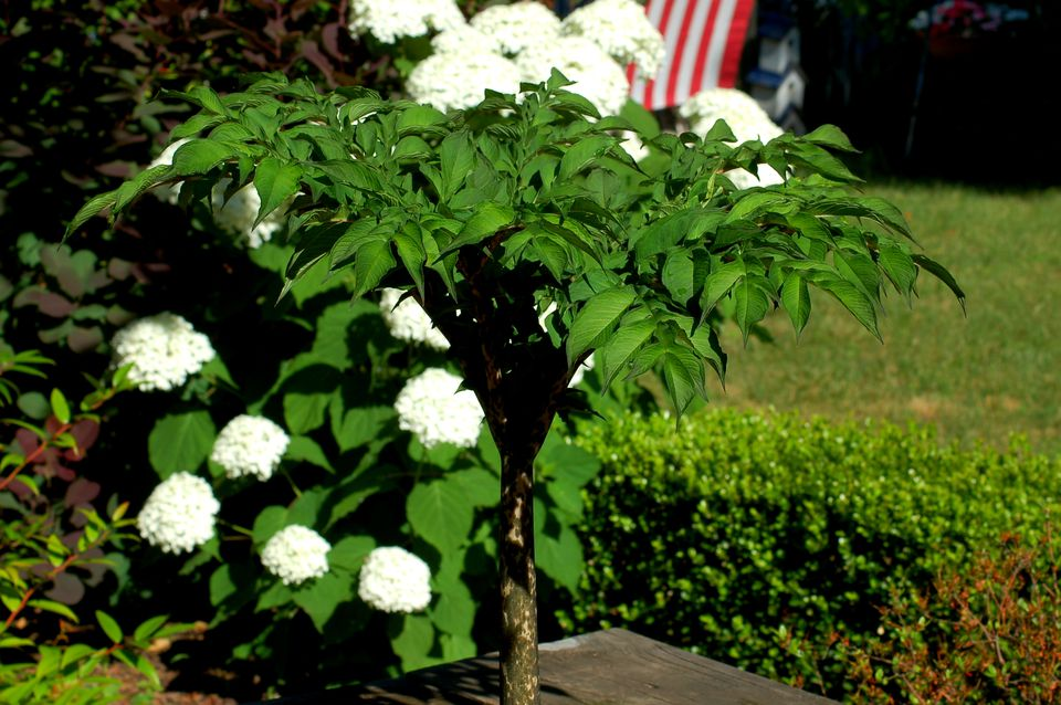 Above-ground vegetation of snake lily, with white hydrangeas behind