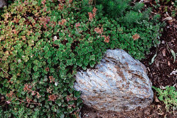 ground cover greenery