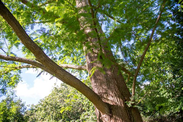 Dawn redwood tree with feathery bright green needles on branches
