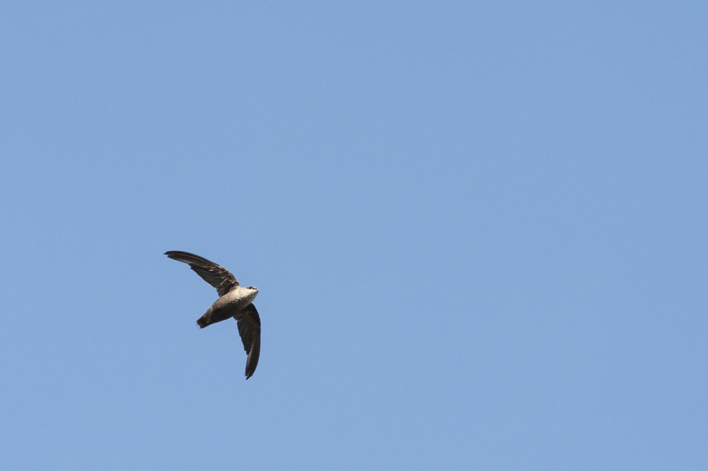 Chimney Swift flying overhead