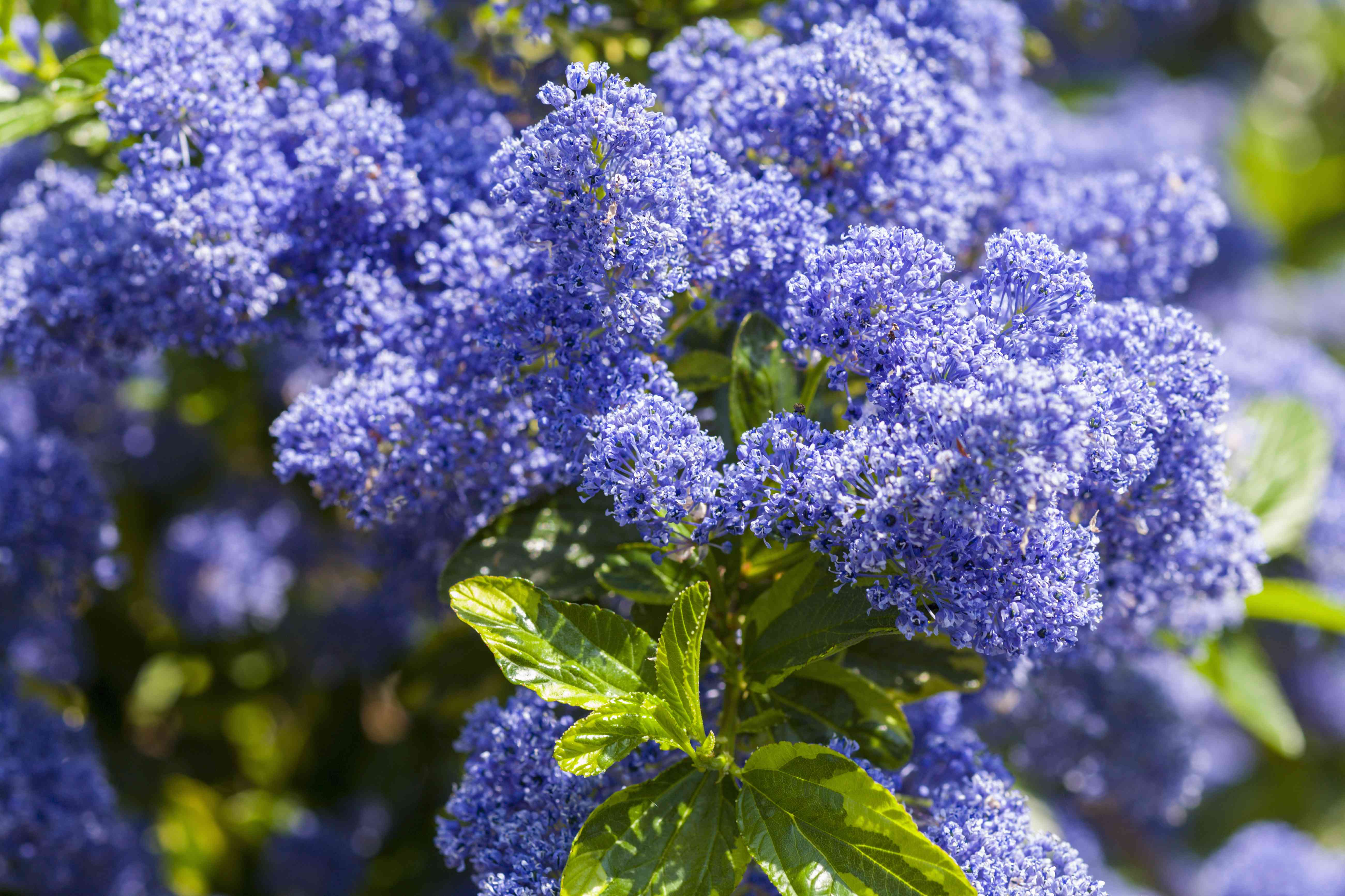 Ceanothus, or Califonian lilac, in flower