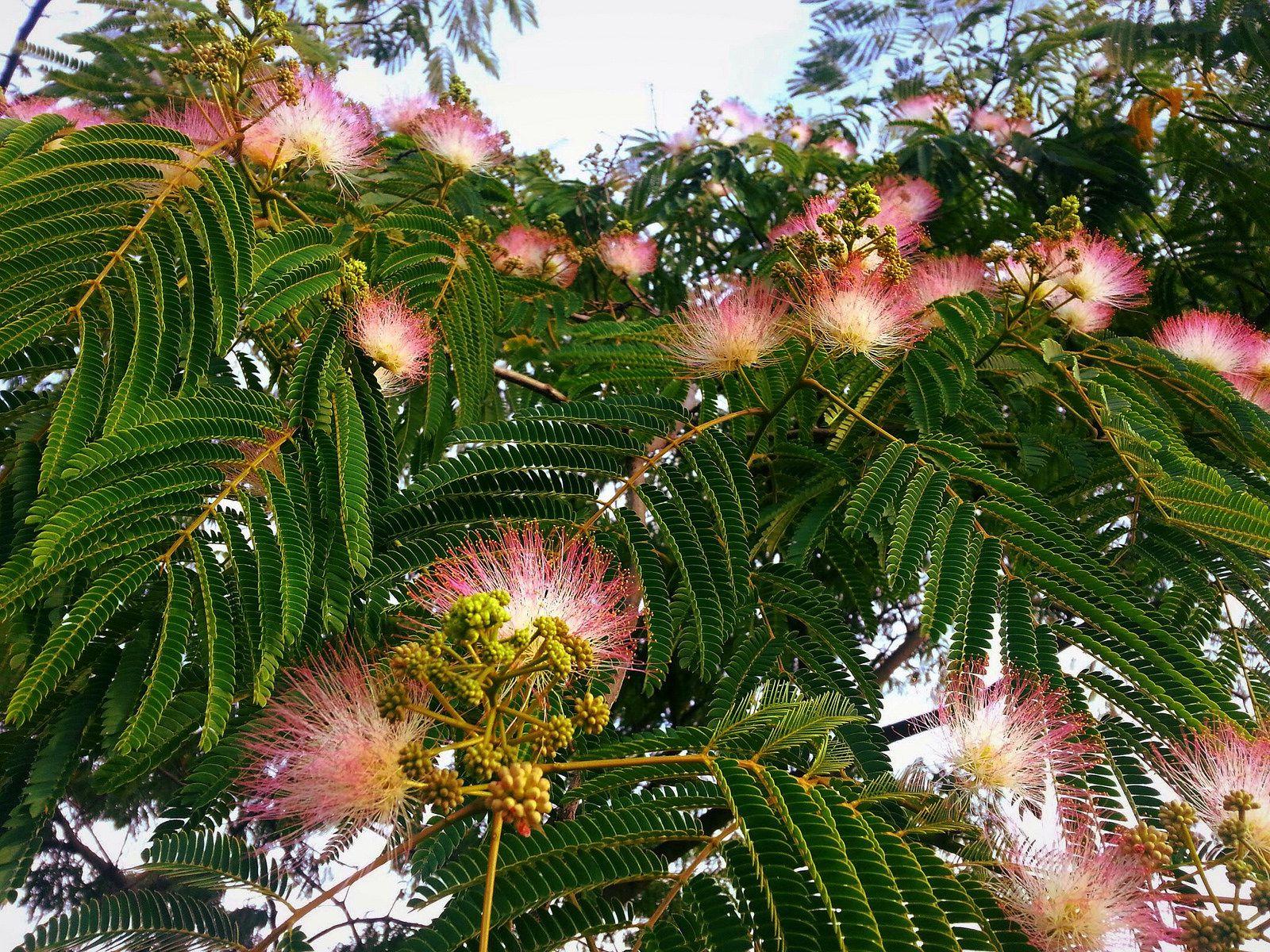 Albizia julibrissin (mimosa tree) in bloom