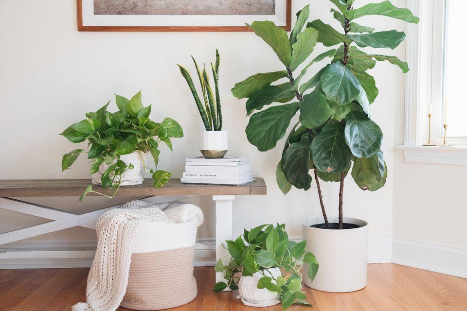 defender las plantas de shui para la purificación del aire
