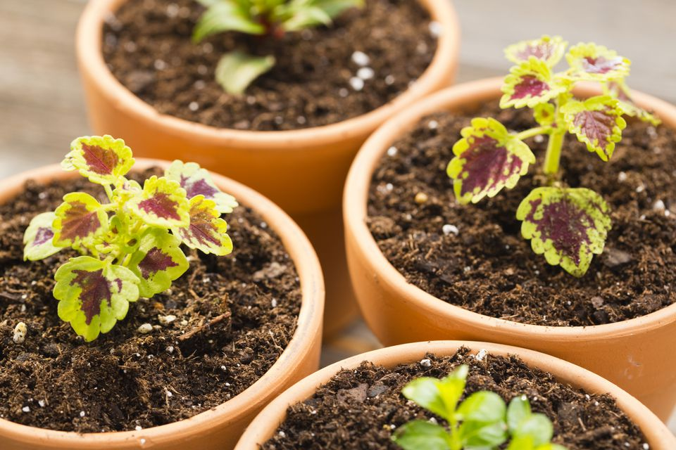 How to grow Coleus plant