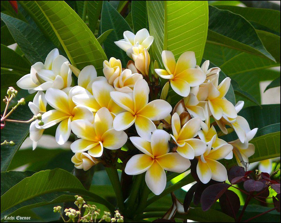 The white frangipani is also known as plumeria