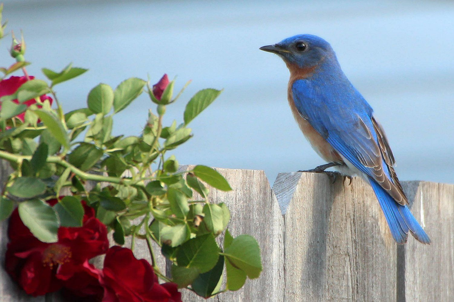 Tips And Tricks For Attracting Bluebirds To Your Yard