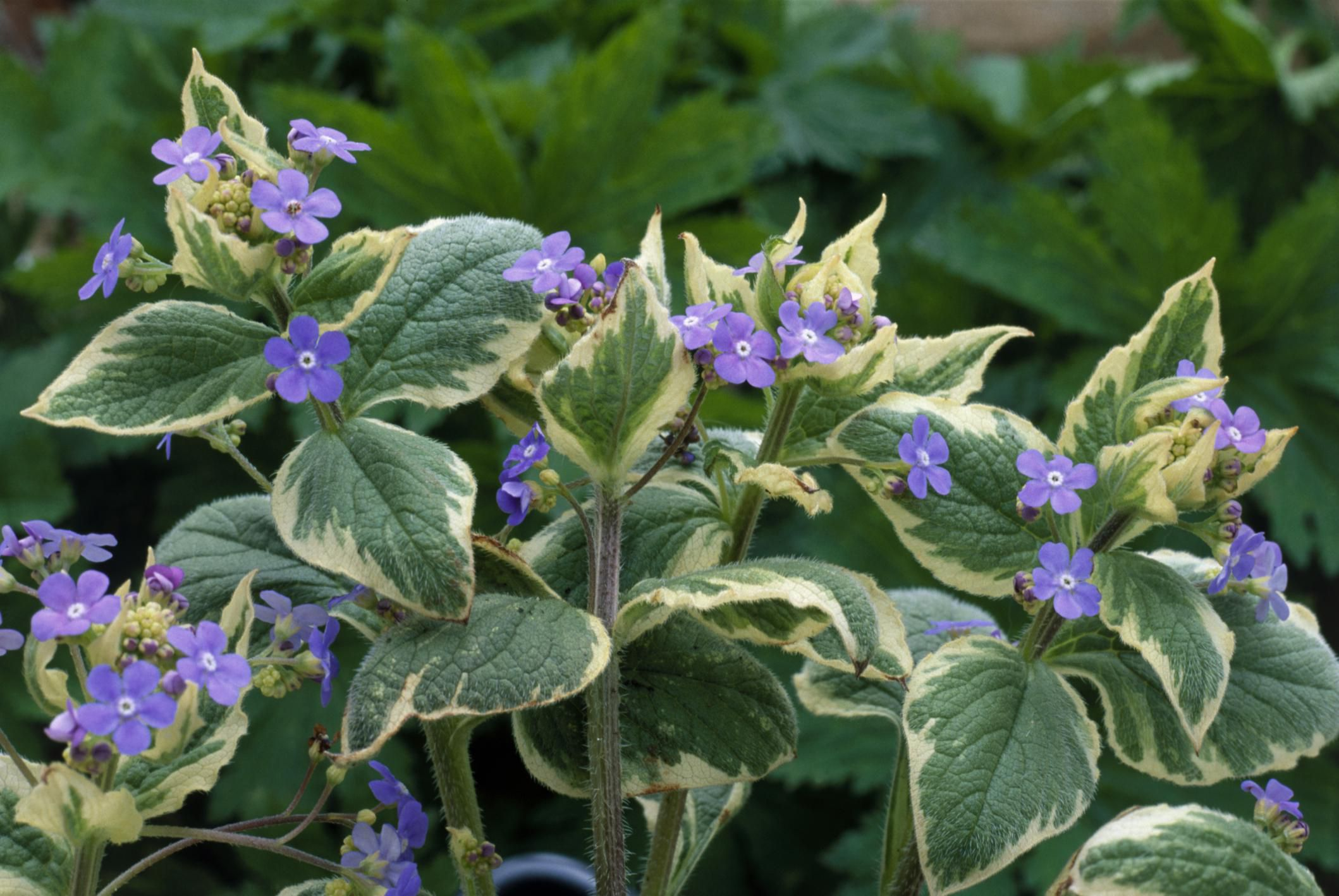 Brunnera Plant Care And Growing Guide