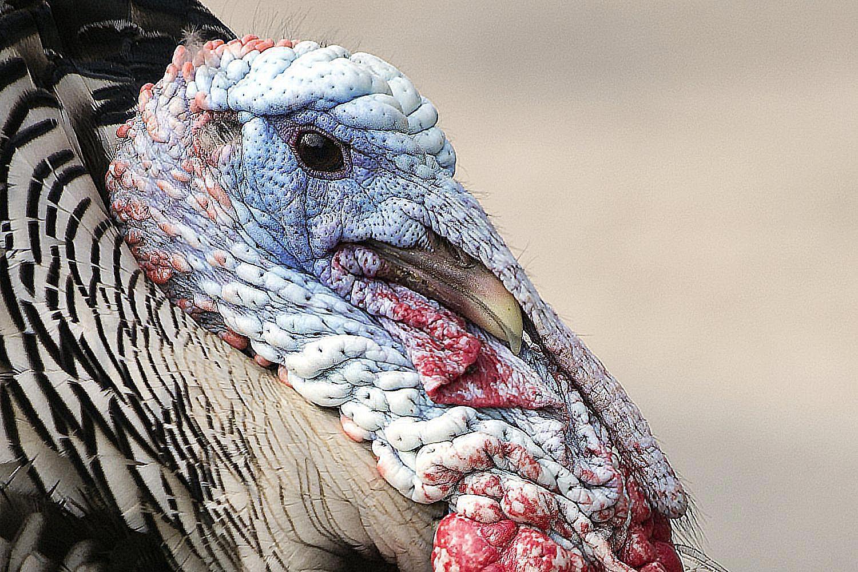Snood - Turkey Anatomy - Parts of a Bird