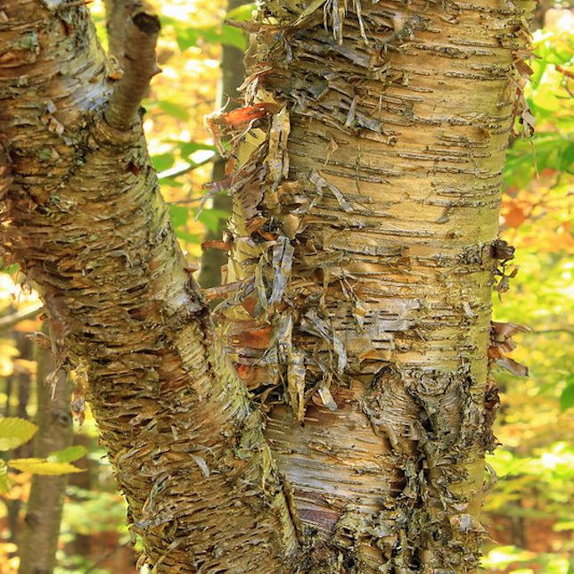 Close up of peeling golden brown bark of birch tree in sunlit forest