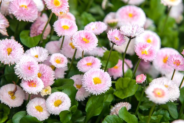 English daisy with light pink flowers