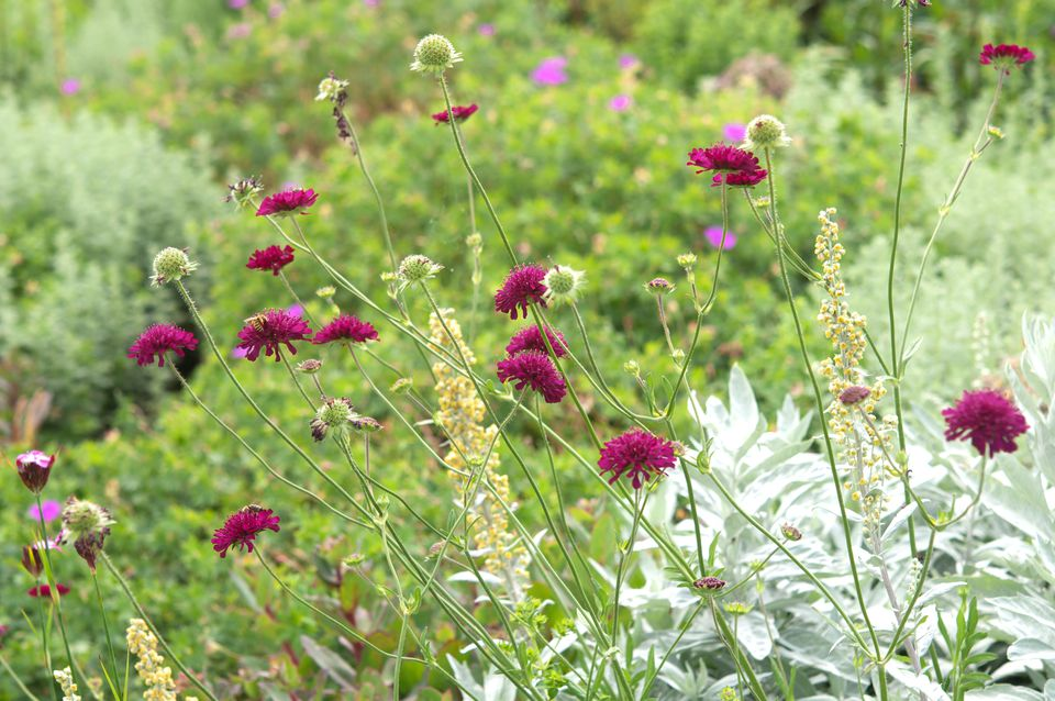 Knautia plant blooming with magenta flowers in garden