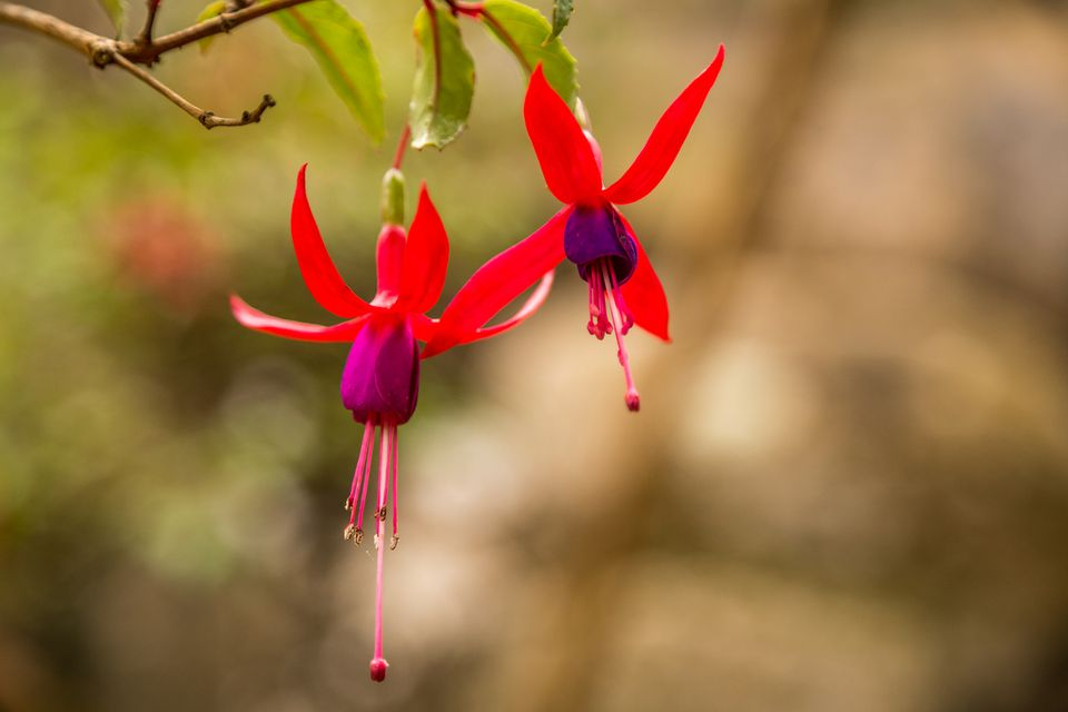 Close-up view of beautiful and unque red flowers in Sintra garden. Fuchsia Boliviana. Macro photo of red dogtooth flowers hanging on a tree in Convento dos Capuchos Sintra, Portugal