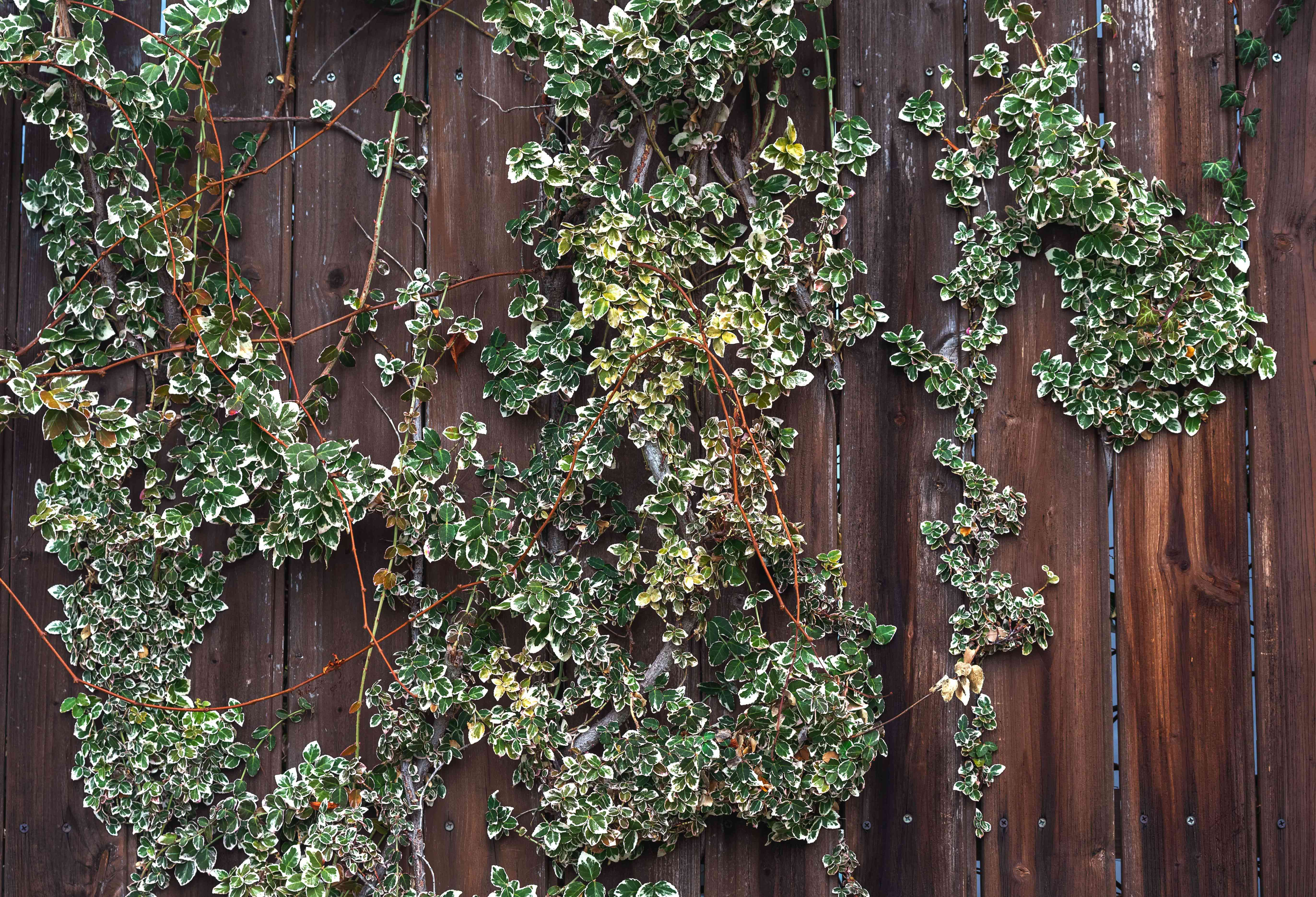 Emerald gaiety euonymus vines climbing dark wood fence with small green and white leaves