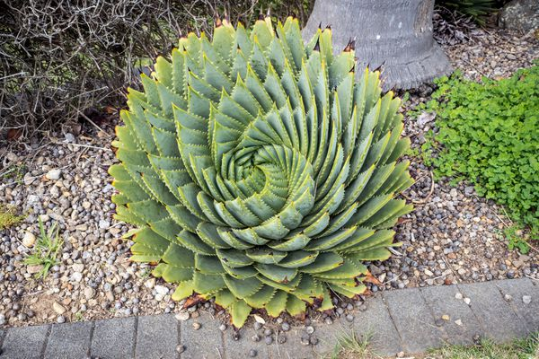 Spiral aloe vera succulent with thick triangular leaves spiraling inwards surrounded by gravel