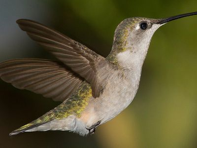 25 Fun Facts About Hummingbirds