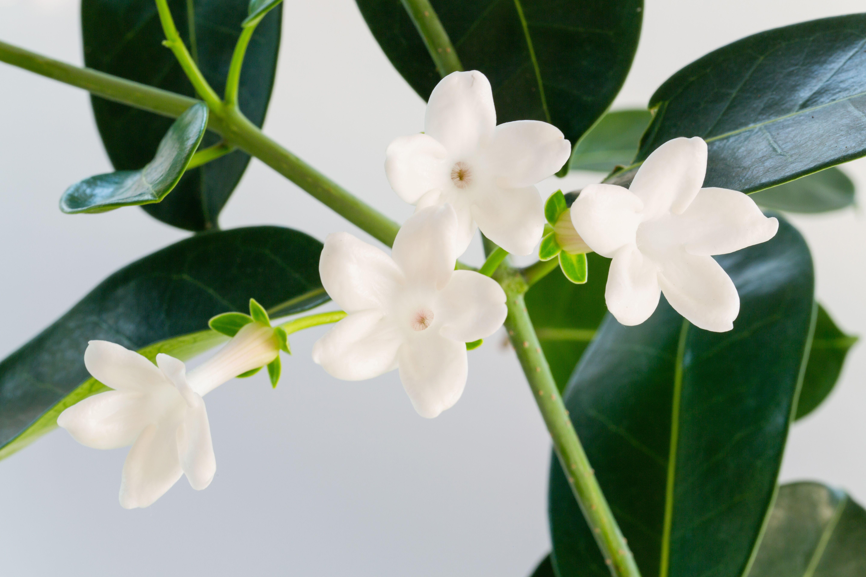 Stephanotis Flowers
