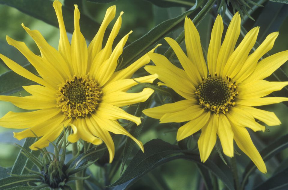 Two perennial yellow sunflowers in bloom.