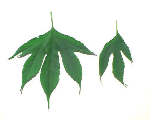 Giant ragweed leaves