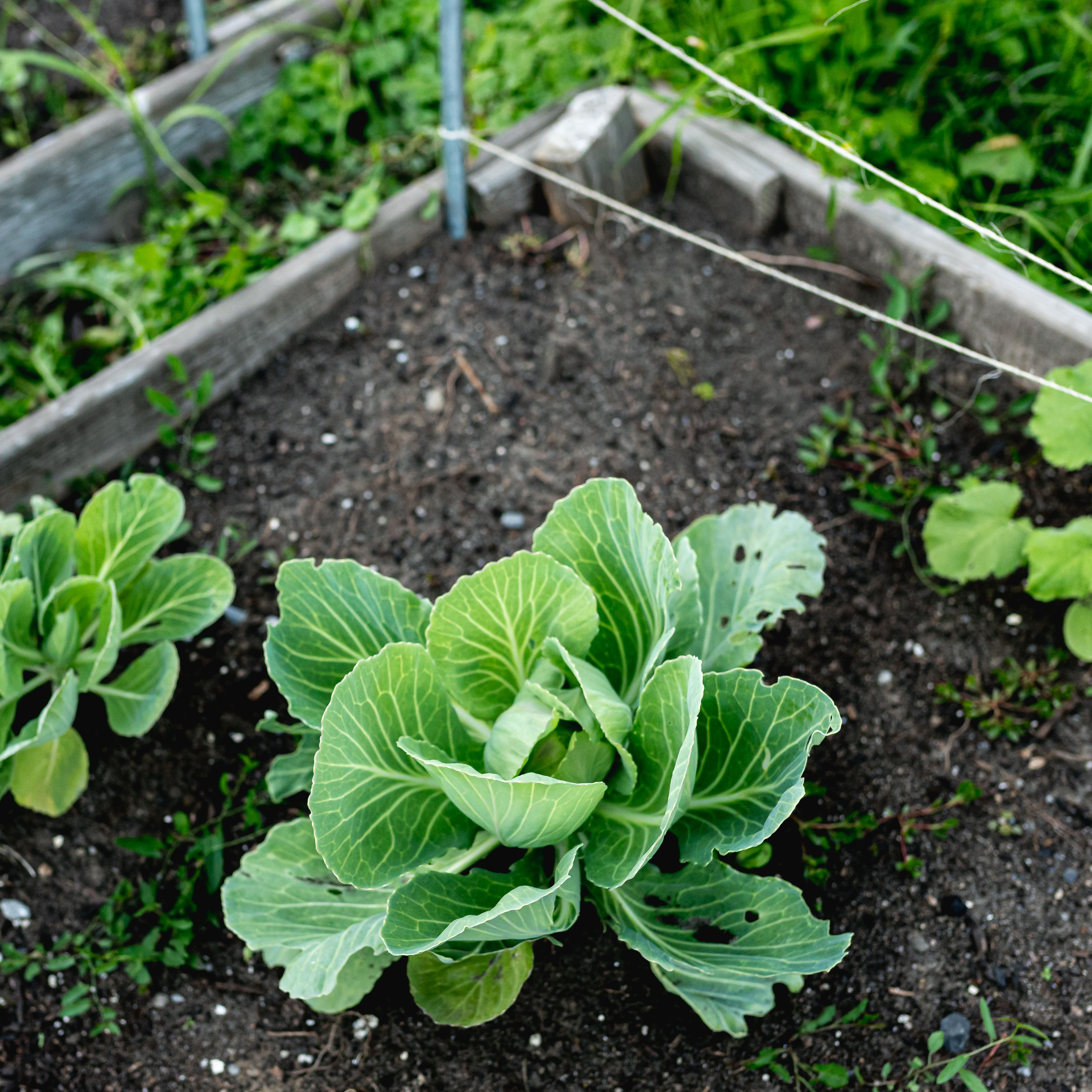 How to Grow Cabbage