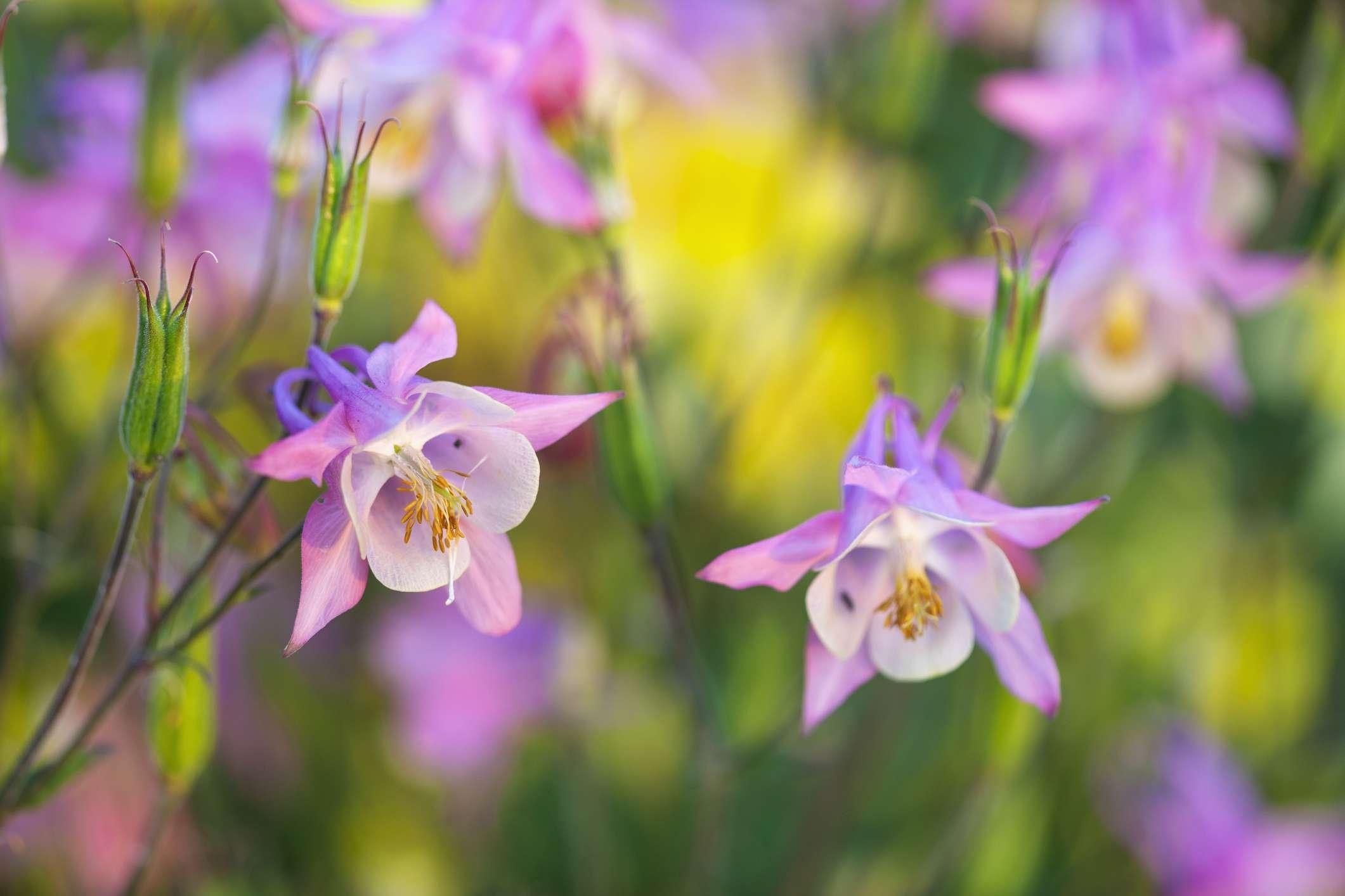 Pink columbine flowers