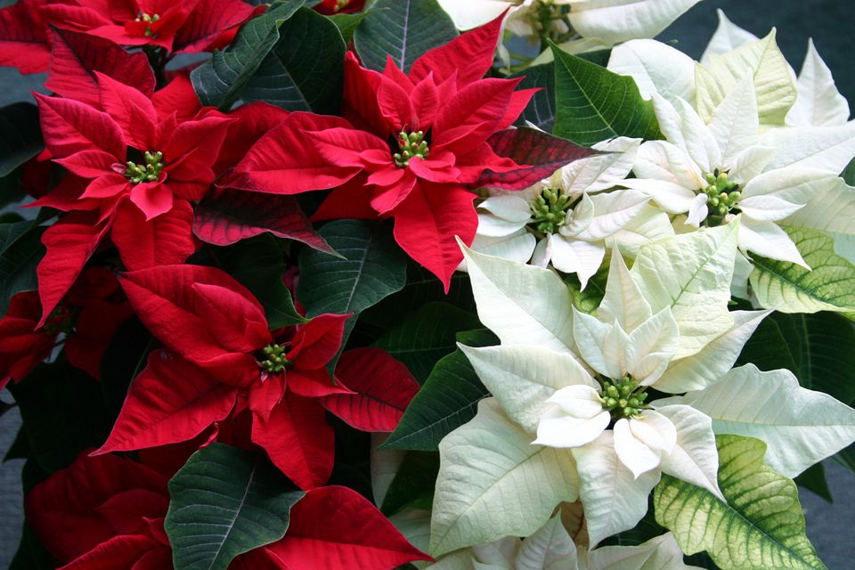 Red and white poinsettias blooming.