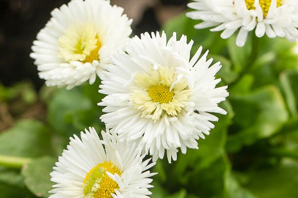 English daisy flowers with white frilly petals and yellow centers closeup