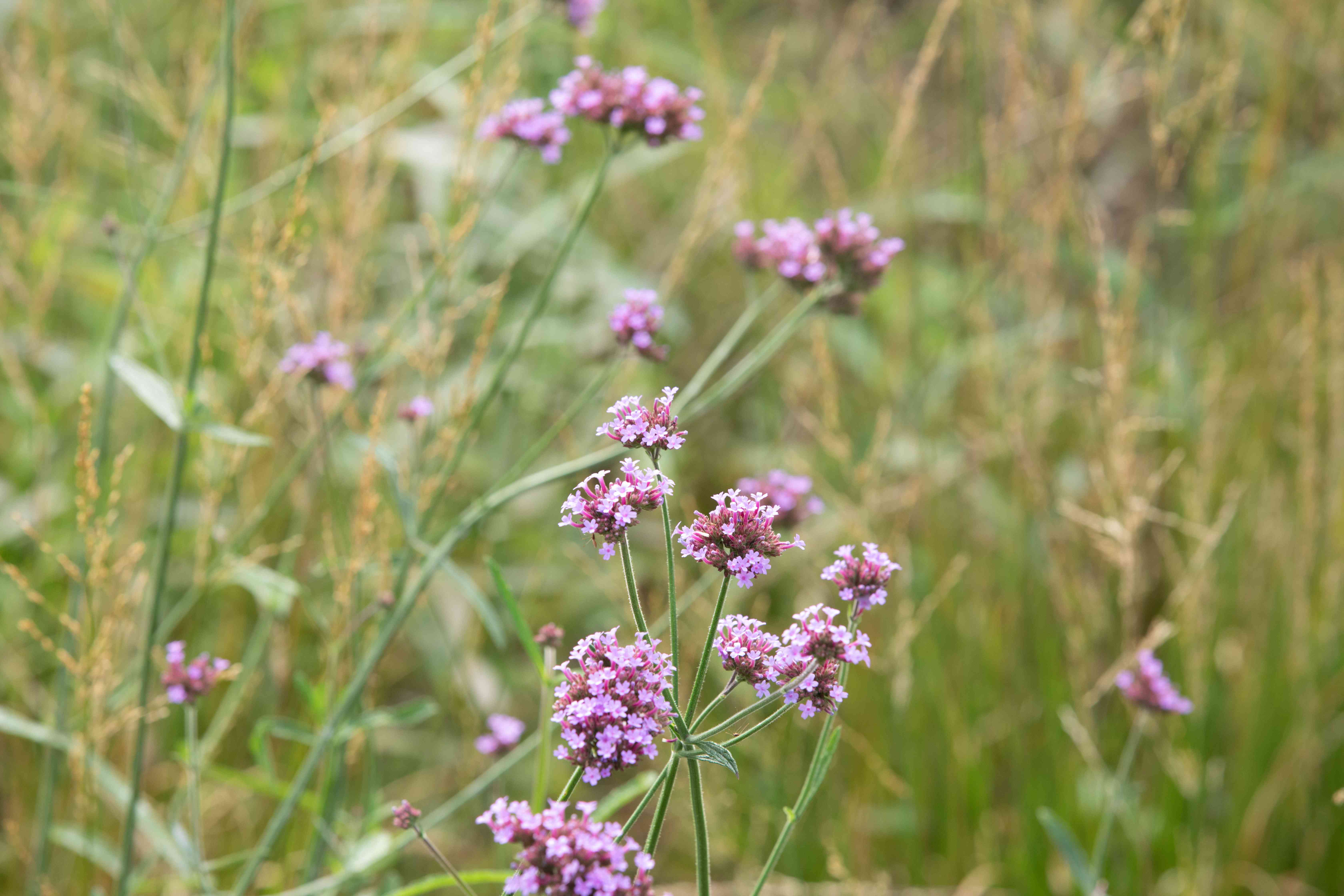 Verbena plant with small pink flower clusters on thin stems closeup