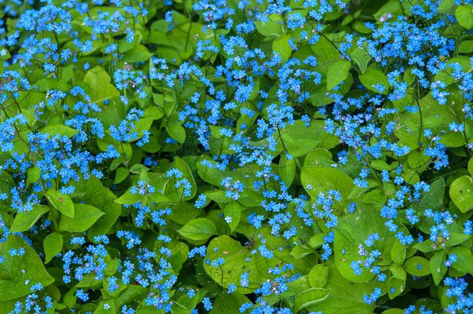 brunnera flowers