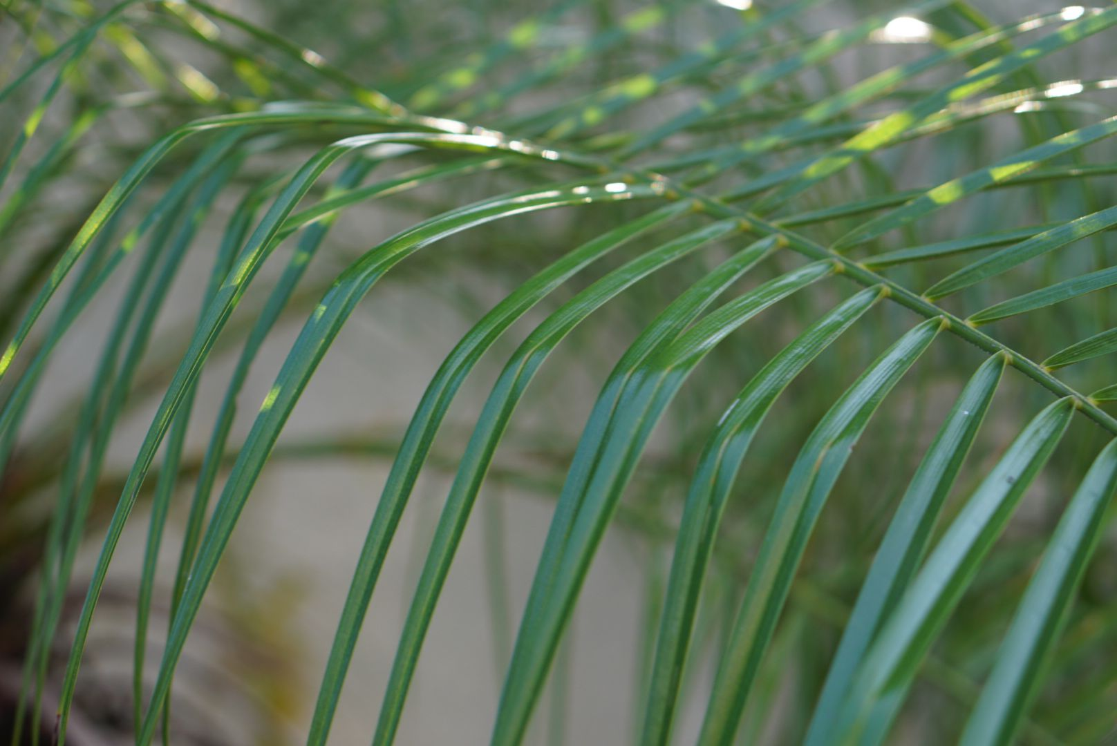 Queen palm fronds with glossy leaves closeup