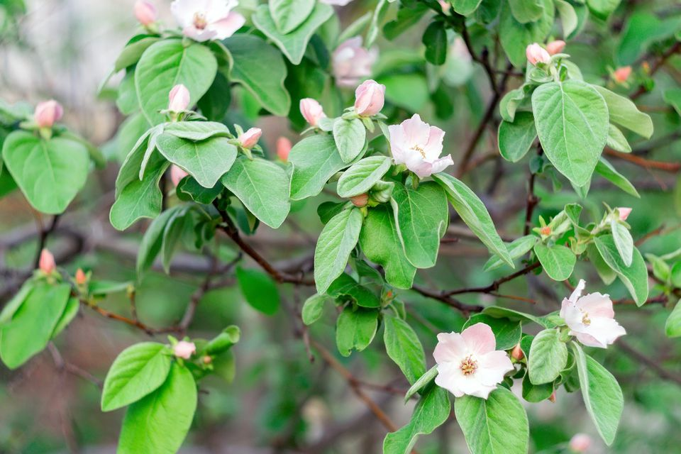 Blooming Quince tree with white flowers.