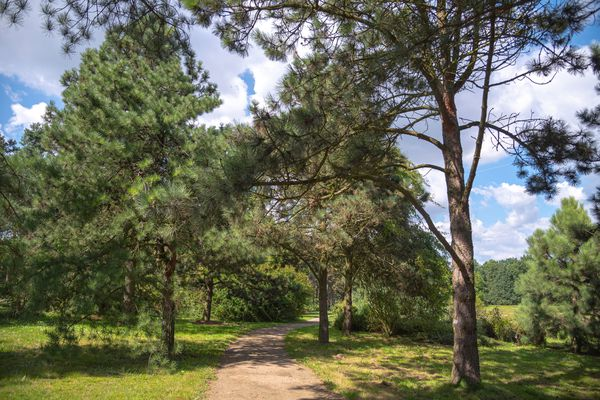 Ponderosa pine trees lining dirt pathway in wooded area