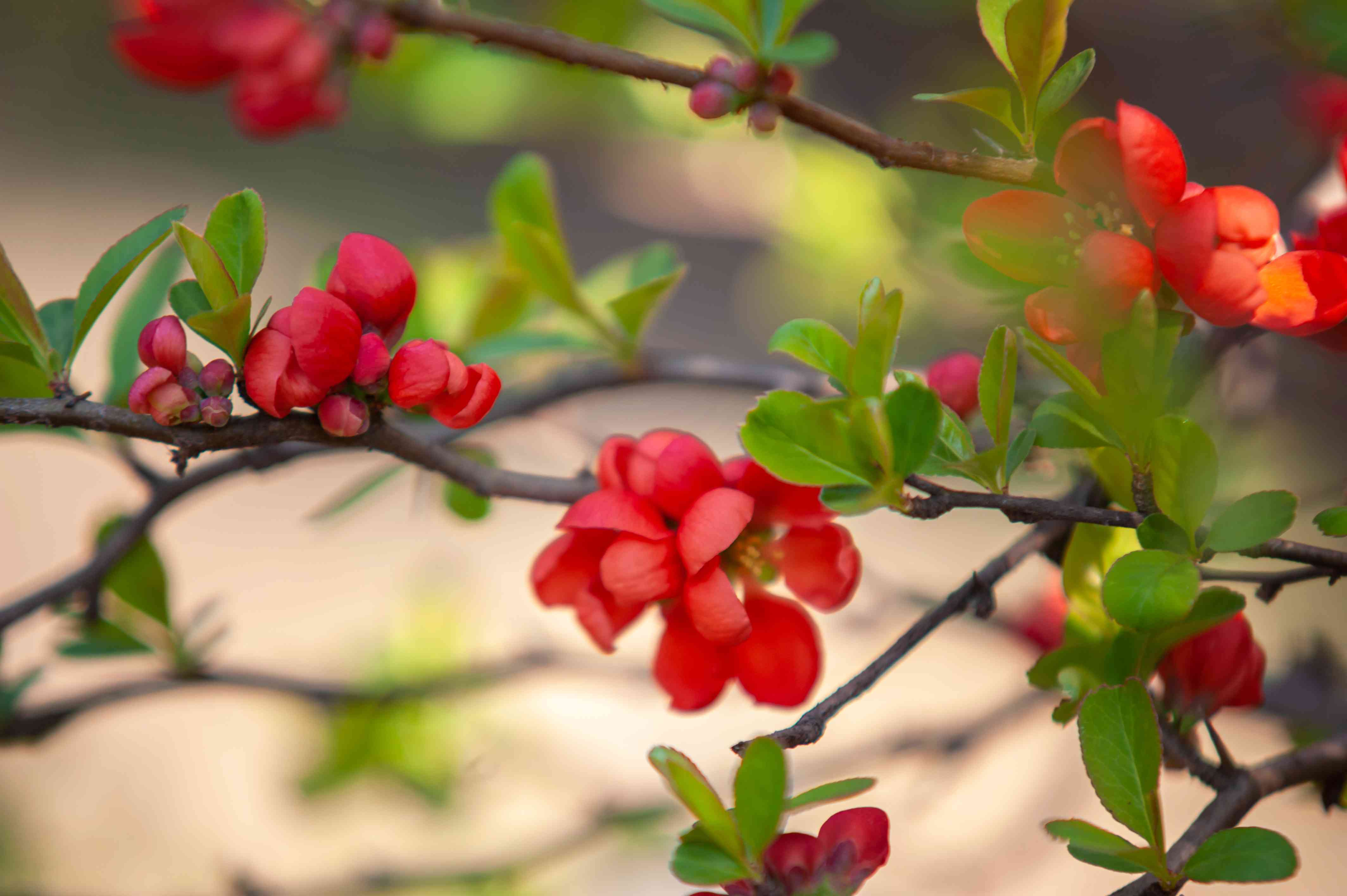 Flowering quince with red flowers on branches closeup