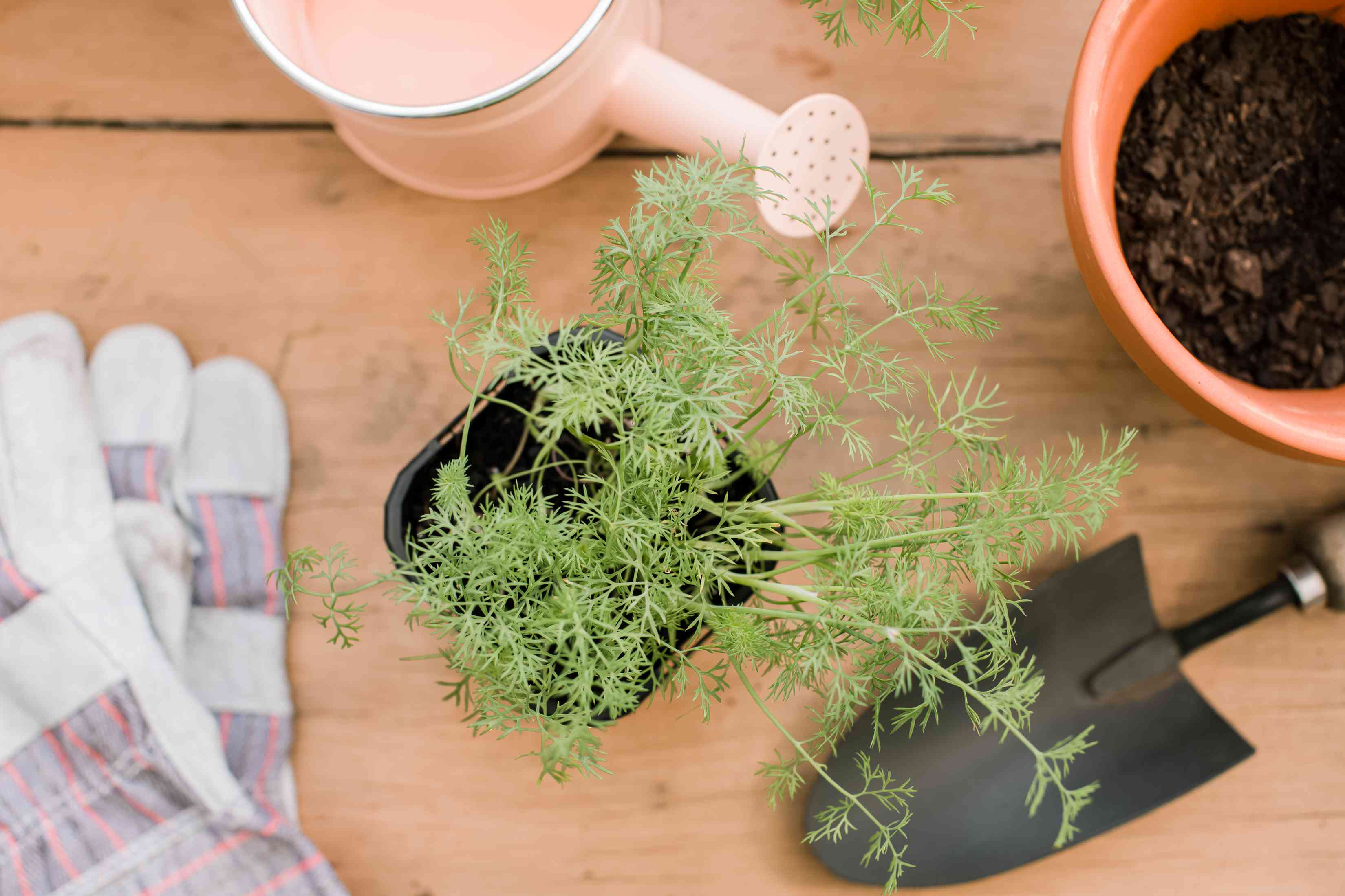 dill plant from overhead