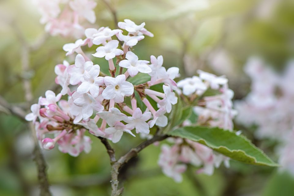Close-up image of the beautiful spring flowering, scented Viburnum white flowers
