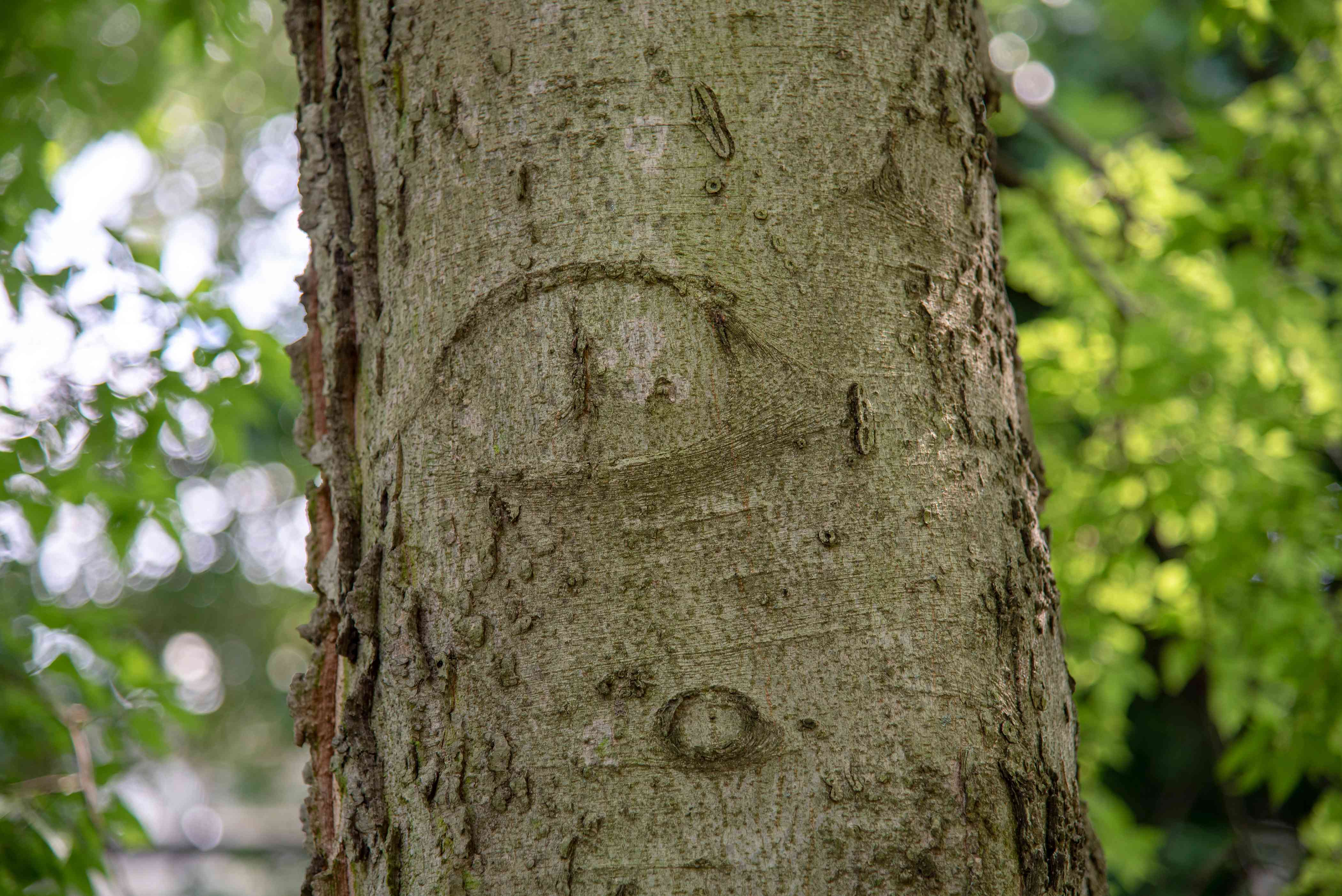 Hackberry tree trunk with cork-like bark with markings closeup