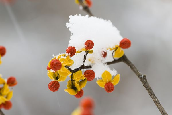 Bittersweet berries and husks covered with snow.