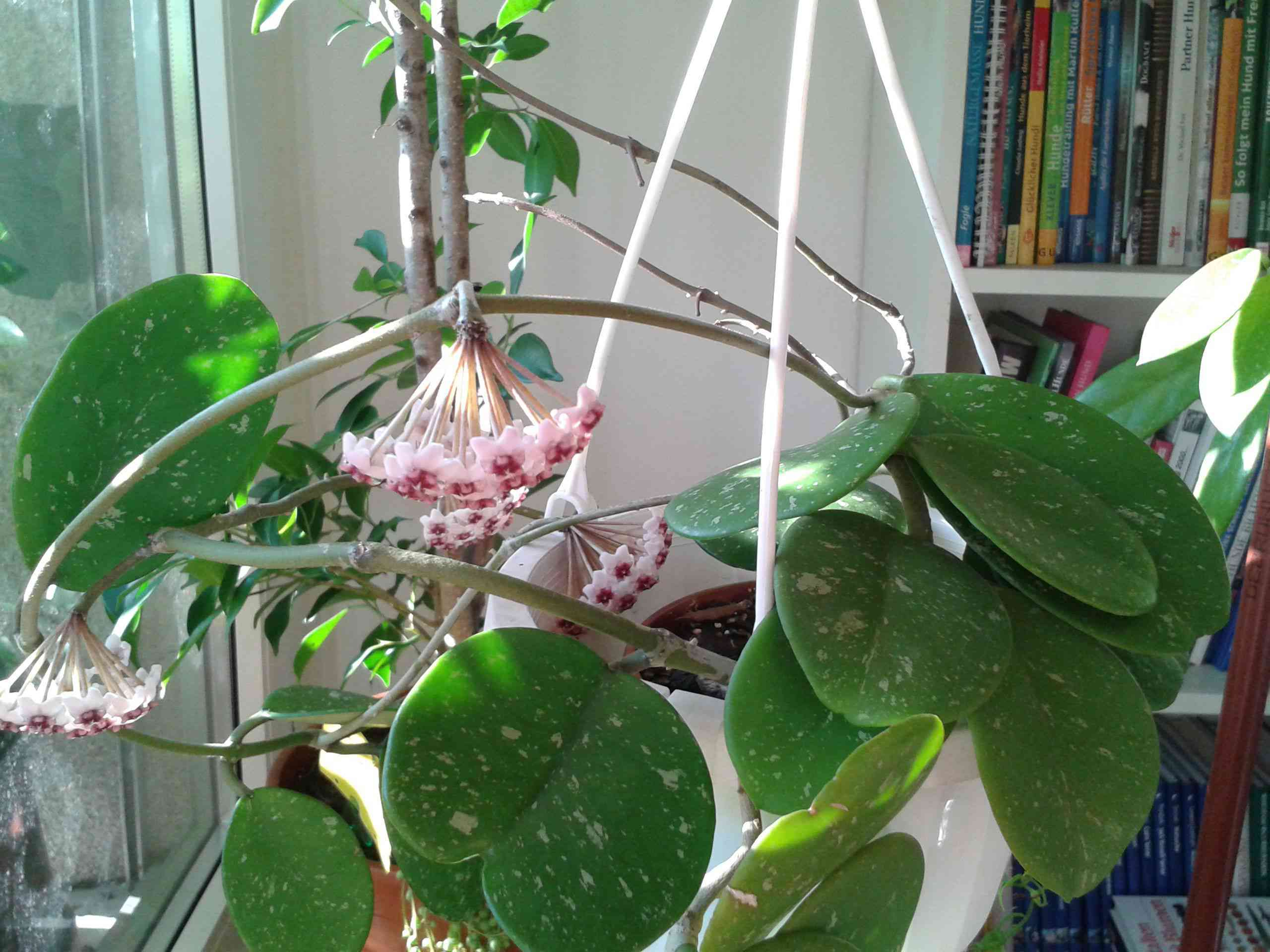 Hoya obovata hanging with flowers and large round leaves