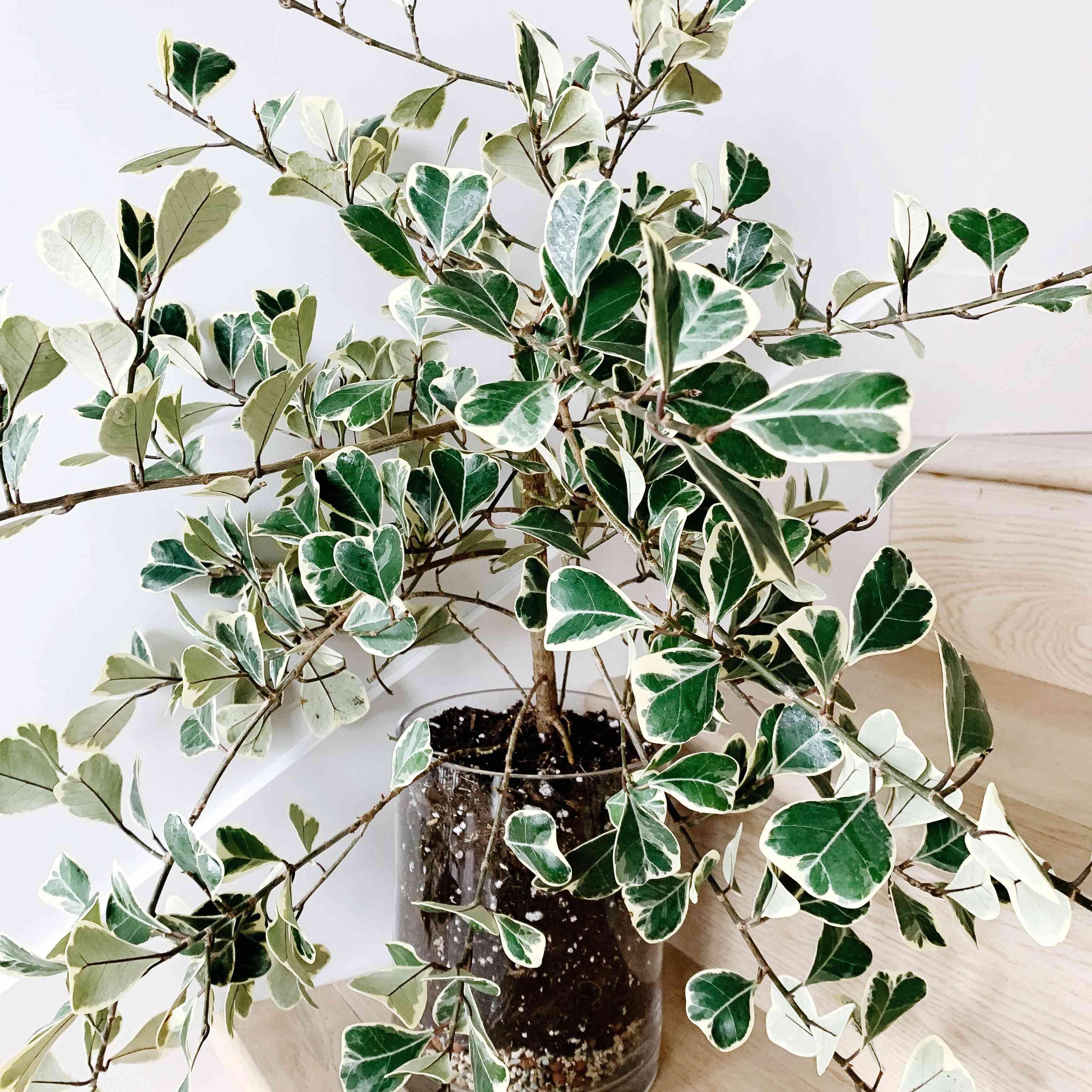 Ficus triangularis variegata