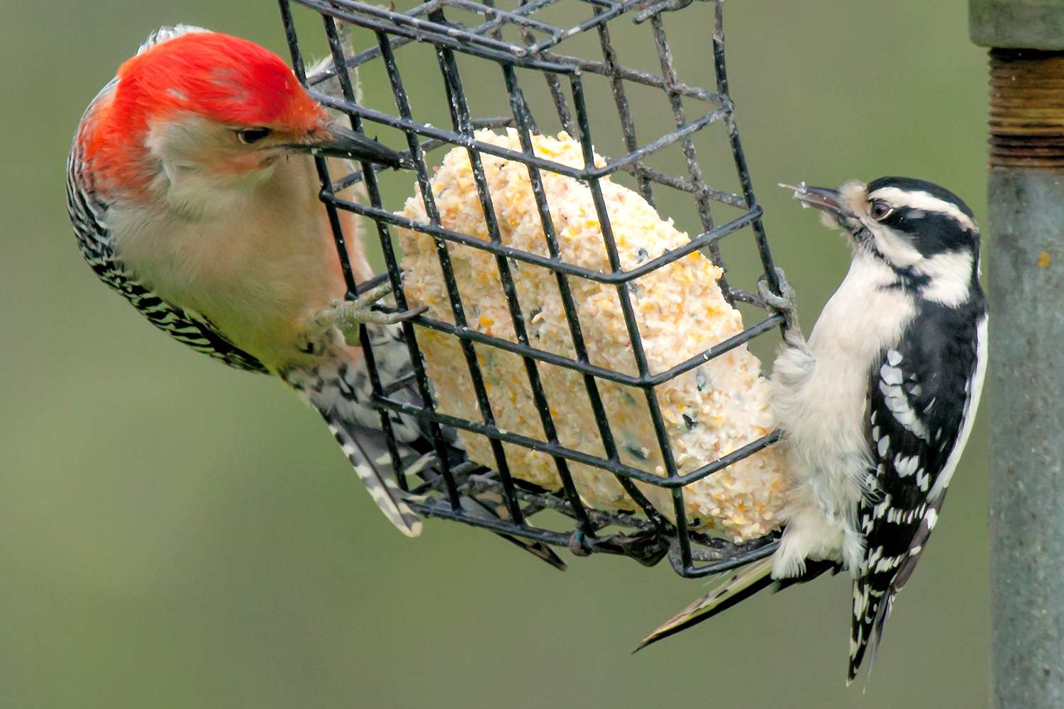 Woodpeckers Eating Suet