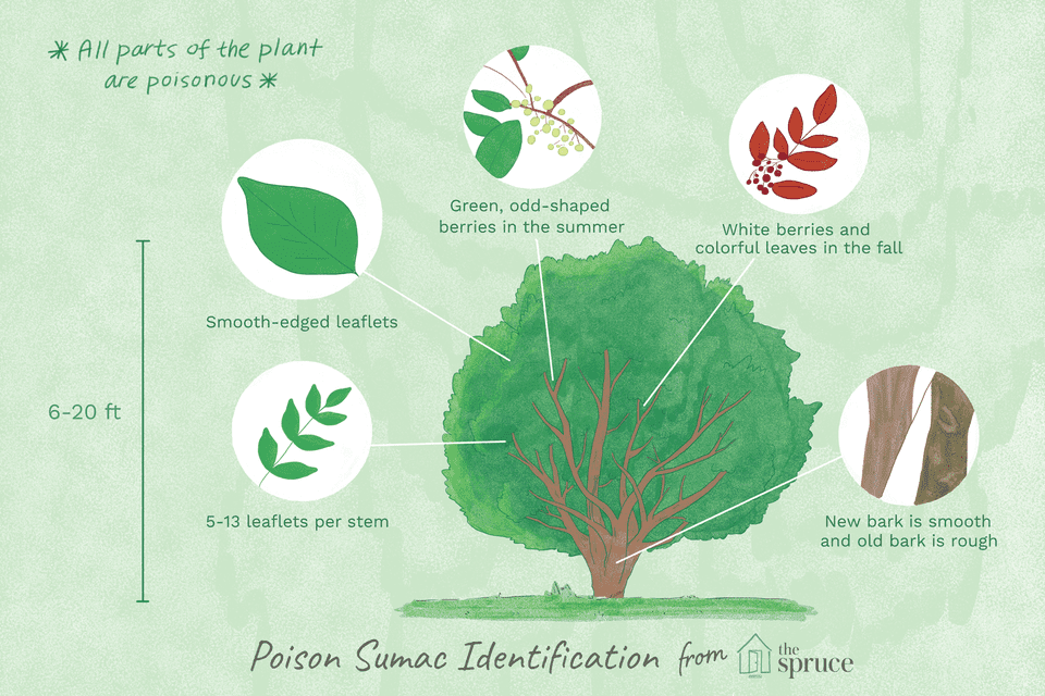 Poison sumac identification illustration