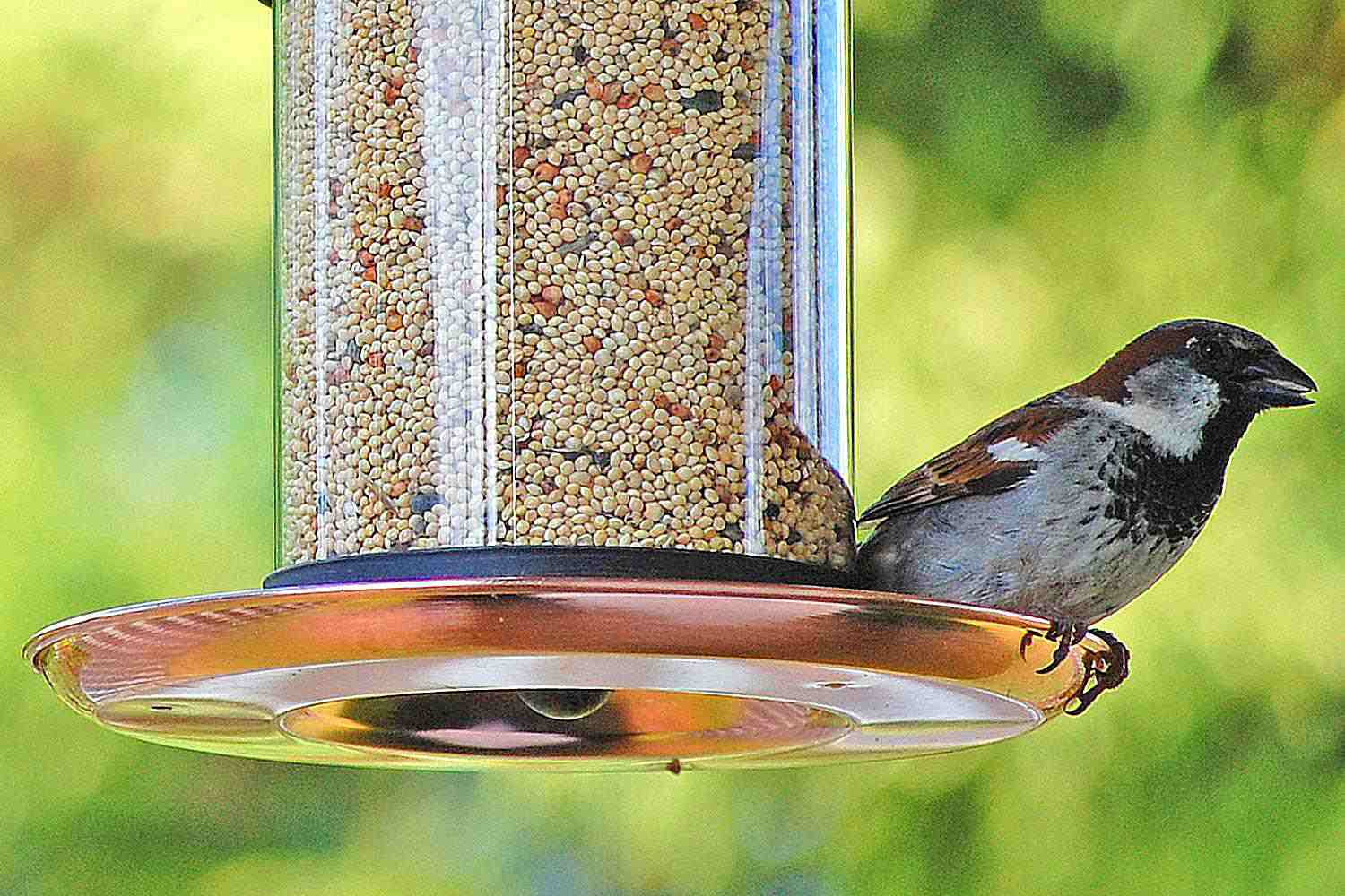 House sparrow on a new bird feeder