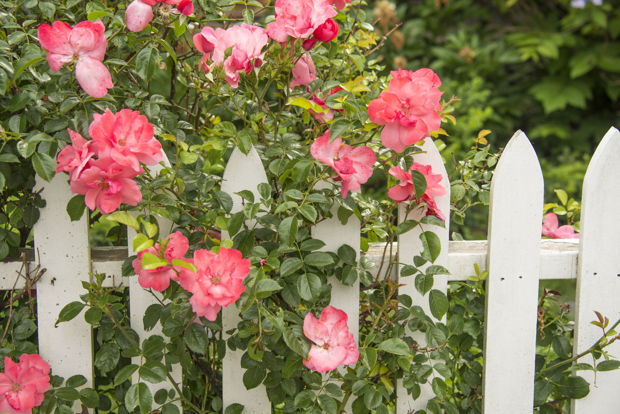 Roses In Garden: Organic Rose Gardening And Care
