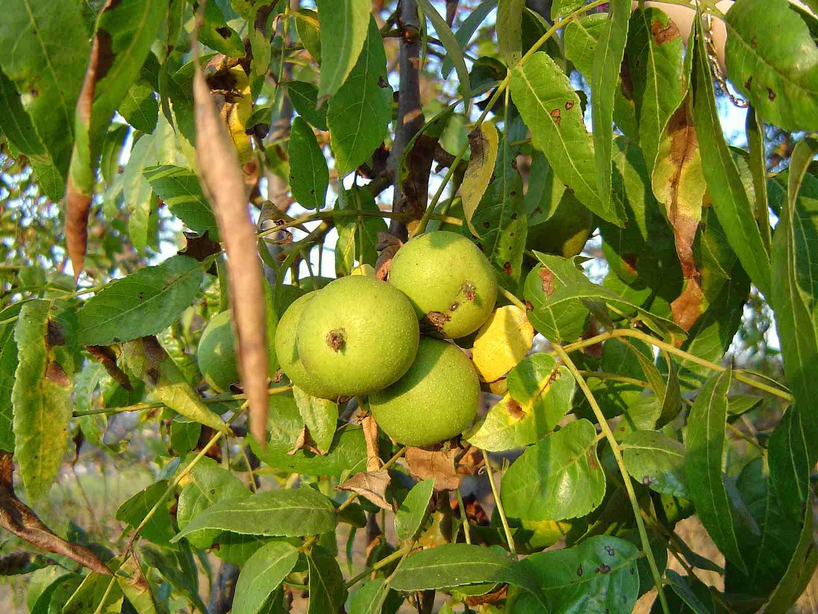 California Black Walnut in Puente Hills.