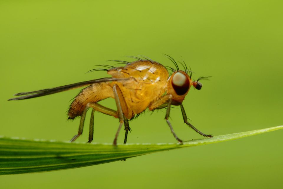 Orange fruit fly