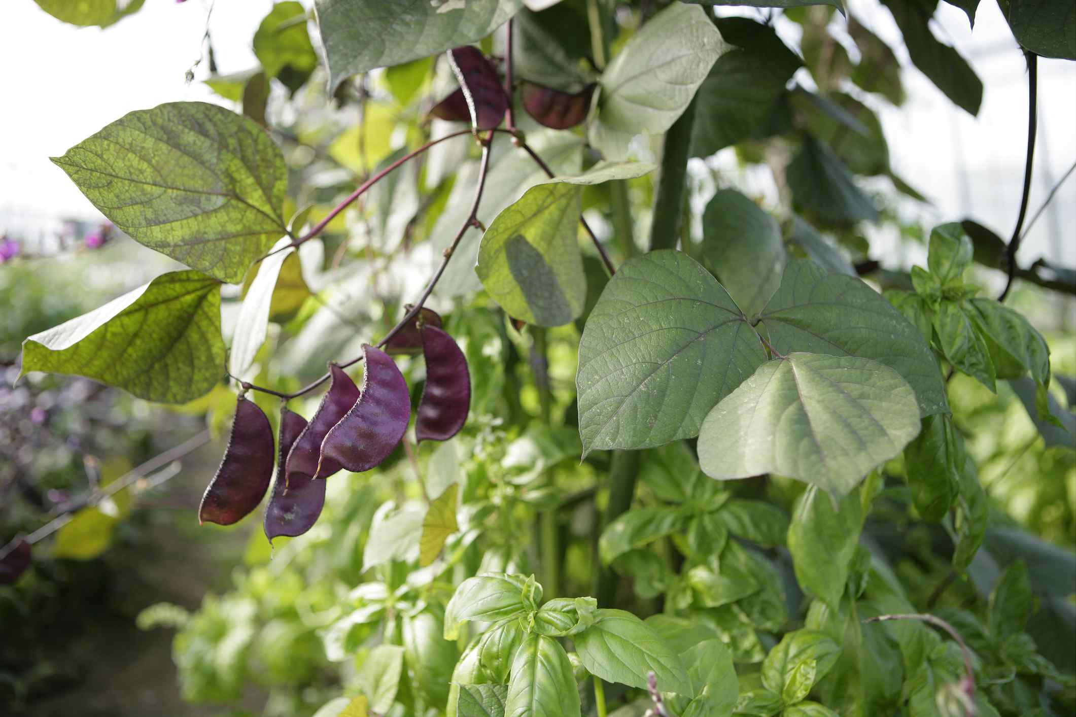Purple Hyacinth beans in a garden