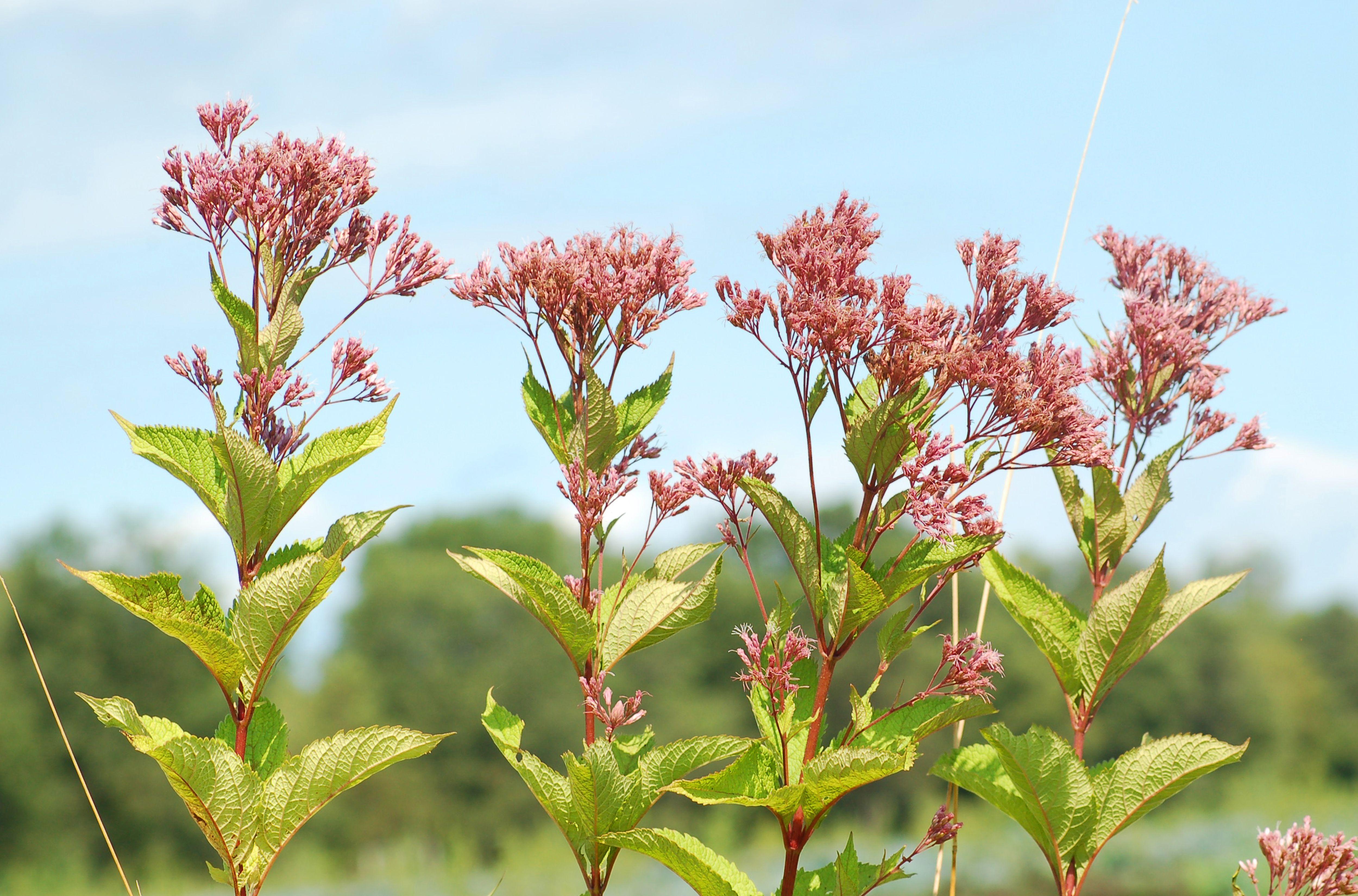Joe-pye weed plants with blue sky backdrop.