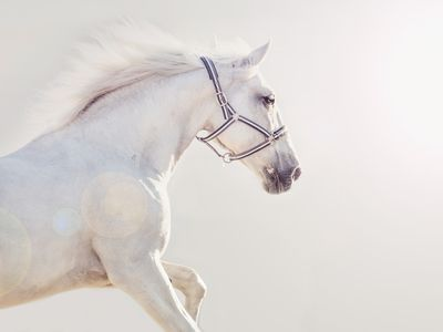 running white horse with a gray background