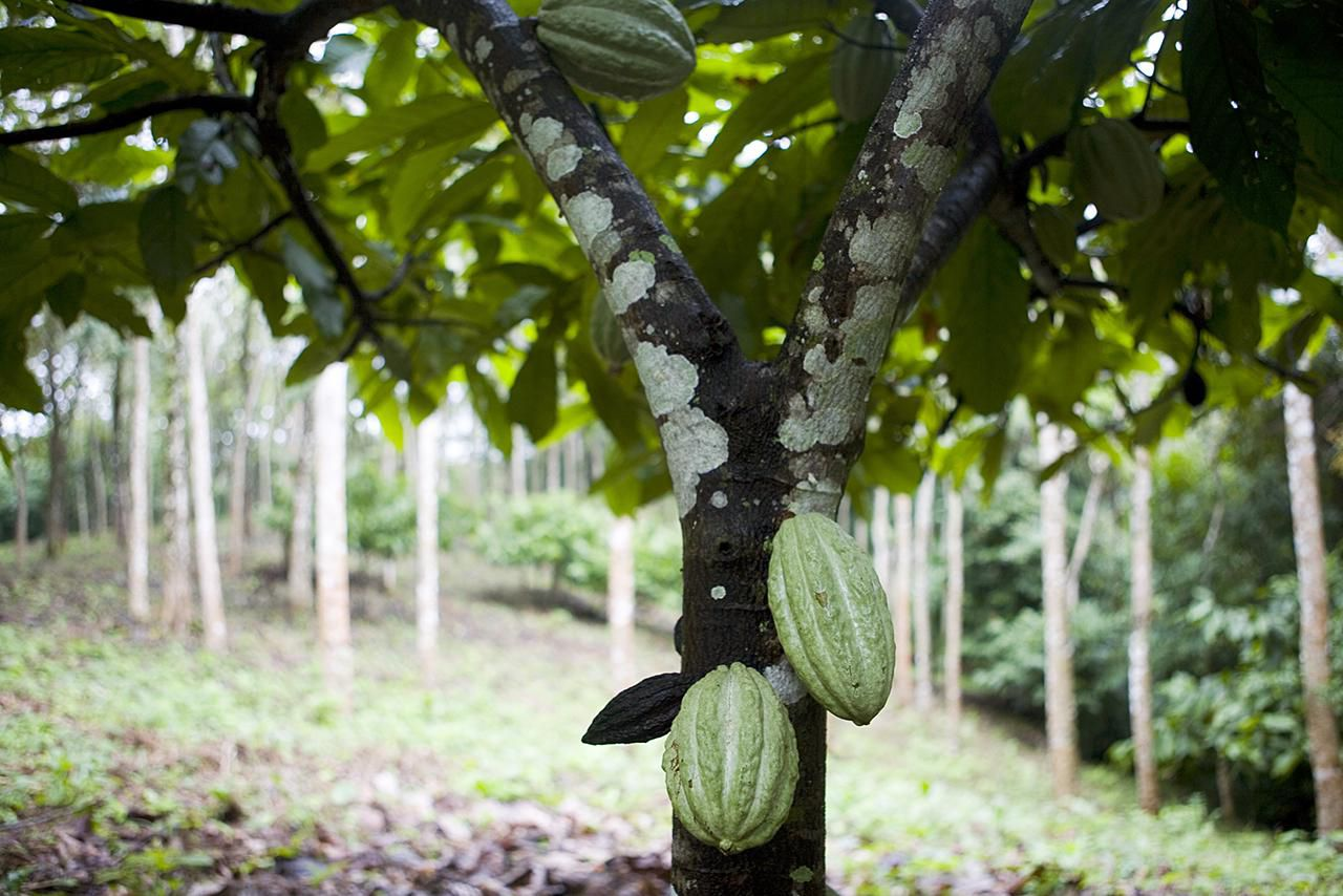 How To Grow How To Grow Theobroma Cacao Indoors